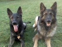 Pictured are two male GSDs... on the left is a dark sable stock coat male and on the right is a long stock coat sable male (Brisko vom Haus Weinbrand BH TR2 CGC OFA excellent H CERF eyes)