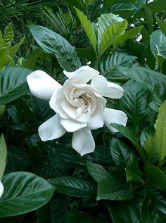 Gardenia Plants, not an easy indoor plant, need cool nights in order to bloom.www.houseplant411