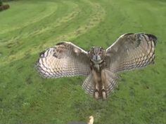 Slow Motion Eagle Owl Swooping In -- Eagle owl at 1000 frames per Second towards a camera. Eurasian Eagle Owl, Owl Pictures, Owl Pics, Photographer Needed, Beautiful Owl, Big Bird, All Gods Creatures, Birds Of Prey, Bird Feathers