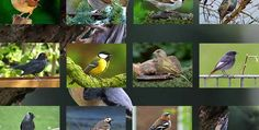 Hier kommen viele der häufigsten heimischen Vögel im ausführlichen Portrait rein! ***Bilder einfach anklicken damit du zu den einzelnen heimischen Vogelportr(...)