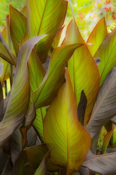 """This is Canna """"Blueberry Sparkler"""" leaves in my garden. canna is a hardy plant…"""