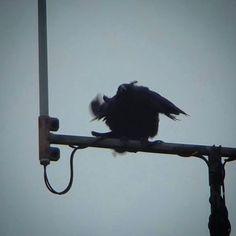 カラス大暴れ。   #crow #bird #カラス #鳥