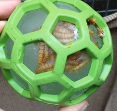 Mealworms frozen inside a toy
