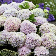 Pink and Green Mophead Hydrangea Magical Ocean, Hydrangea macrophylla, Mophead Hydrangea Hydrangea Quercifolia, Hydrangea Flower, Hydrangeas, Limelight Hydrangea, Hydrangea Types, Pink Flowers, Smooth Hydrangea, Hydrangea Not Blooming, Plants