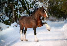 Draft horse love