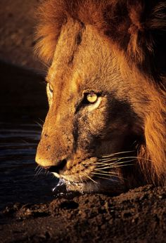 Such beauty Male Lion Wildlife animals Wilderness Photography