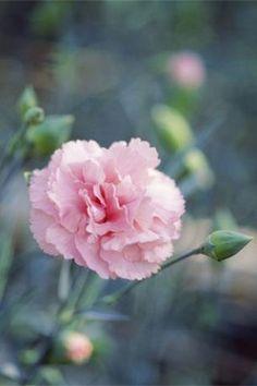spain national flower - Pesquisa Google