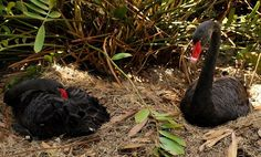 An Unidentified Man Stomped On Black Swans Eggs - A Real Tragedy For The Swans