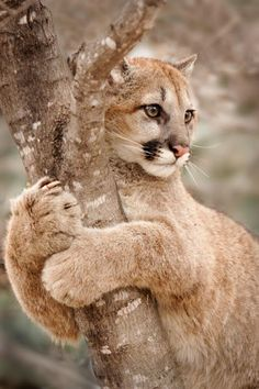 'Hold On' photo by Laurie Hernandez, young cougar (mountain lion or puma) in Minnesota (Big Cats) dunway. Nature Animals, Animals And Pets, Cute Animals, Baby Animals, Wildlife Nature, Animals Images, Beautiful Cats, Animals Beautiful, Beautiful Life