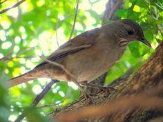 Sabiá-barranco --{ Birds }--