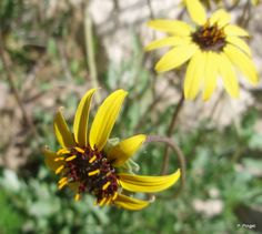 chocolate flower, near Smith Bldg., Boyce Thompson Arboretum