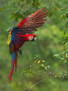 Scarlet Macaw In Flight By Bonnie Block