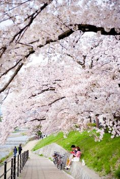 Kyoto,Japón.Cerezos en flor.