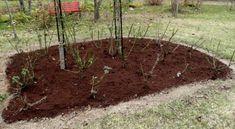 Грибок, который поражает розы, зимует не только на растении, но и в почве, поэтому важно обрабатывать не только розу, но и приствольные круги