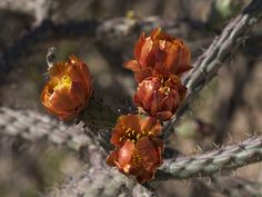Distraction Limited posted a photo:  Versicolor extravaganza (and opuntia festival as well as other assorted flowers and insects).  April 19 2017 on the Sabino Canyon Volunteer Naturalist led Sabino Canyon nature walks.  RAW file processed with RAW Therapee.  _4194951
