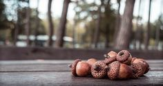 How To Make Flour, Bread And Even Coffee With Acorns   Off The Grid News