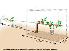 Arbre fruitier en cordon simple - Distances et plantation : de 1,80 à 2 m entre deux cordons