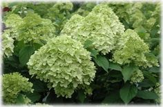 Tips for growing the best hydrangeas!