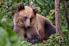 URSI MADE in ROMANIA. Credit foto: Radu Lipsa Brown Bear, Romania, Animals, Animales, Animaux, Animal, Animais
