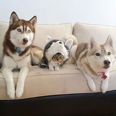 Husky cat. Rosie the rescue kitty was saved bya husky who changed her life forever! Now the kitty thinks she's part husky…
