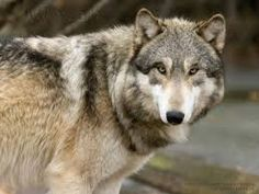 Image result for wolf pictures in the wild