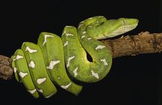 emerald-tree-boa-corallus-caninus-pete-oxford.jpg (900×586)