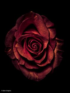 kader - Best of Wallpapers for Andriod and ios Mermaid Wallpaper Backgrounds, Rose Flower Wallpaper, Pink Wallpaper Iphone, Beautiful Rose Flowers, Exotic Flowers, Love Flowers, Red Roses, White Roses, Billy Kidd
