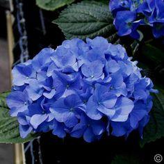 hydrangea macrophylla 39 bela 39 ball blau blaue hortensien pinterest hortensien. Black Bedroom Furniture Sets. Home Design Ideas