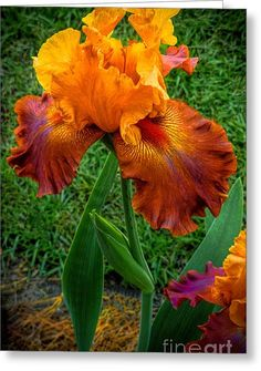 """""""Bearded Lady"""" Iris Beautiful gorgeous pretty flowers in orange and red Iris Flowers, Exotic Flowers, Amazing Flowers, Planting Flowers, Beautiful Flowers, Beautiful Gorgeous, Flowers Garden, Black Flowers, Absolutely Gorgeous"""