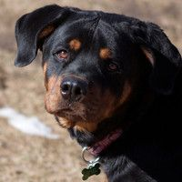 Hi! I'm Violet, and I'm a 1.5 year old Rottweiler girl. Check me out here: http://www.maxfund.org/view-pet-detail/?id=3089