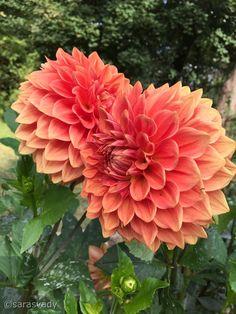 Dahlia Flower, Belleza Natural, House Plants, Garden Ideas, Gardening, Rose, Beautiful, Garden, Beautiful Roses