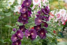 Hollyhock 'Halo Lavender' Backyard, Patio, Hollyhock, Rustic Gardens, Delphinium, Cottage Style, Garden Ideas, Gardening, Plants