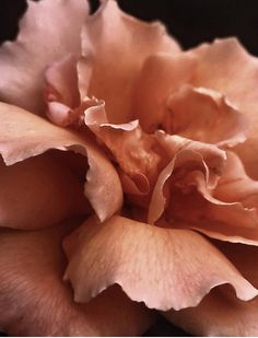 Salmon coloured Rose.