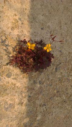 Λουλούδι στο τσιμέντο