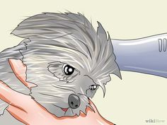 Groom a Yorkshire Terrier Step 26.jpg
