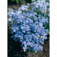 nemesia blue gem seeds from mr fothergills seeds and plants