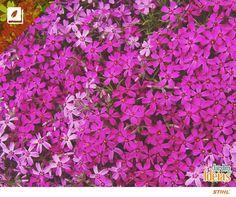 A flox de musgo deve ser mantida em ambiente com solo drenado e boa iluminação. Ela é planta da família Polemoniaceae e pode ser encontrada em tons de rosa, malva, azul ou branco. Um amor! <3