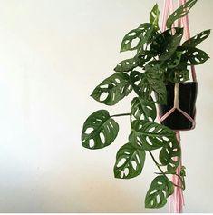 Een favoriet bij veel urban jungle lovers: de monstera obliqua (ofwel: de groene gatenplant). Extra mooi in een hangpot!