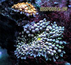 Рикордея флорида - Настоящая жемчужина домашних рифов