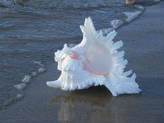 Murex Ramosus shells are abundant in Indo Pacific Seas