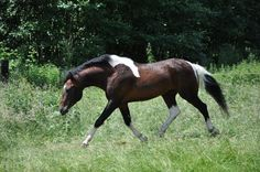 JL Spar-King Quincy - Riverside Curly Horse Ranch - Europa's größte Curly Zucht