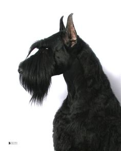 Dog owned by Hi Style Giant Schnauzers