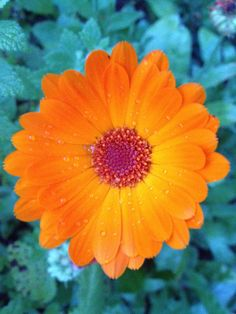 Ringelblume, Calendula Marigold Flower, Flowers