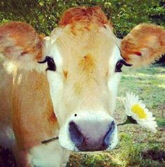 So cute. I will have a Jersey cow roaming my yard one day.