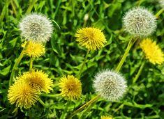 Integrated Weed Management: A Natural Weed Killer for Your Lawn Dandelion Leaves, Dandelion Flower, Dandelion Plant, Get Rid Of Dandelions, Common Lawn Weeds, Culture Bio, Dandelion Benefits, Blog Bio, Weed