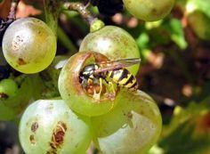 Cum împiedicăm viespile să vandalizeze via și livada Paradis, Plantar, Salvia, Fruit Trees, Grape Vines, Good To Know, Plum, Organic, Vegetables