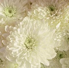 Wholesale Cremon Mum White - Blooms by the Box  beautiful! would love to add this flower to the bouquet- might be over whelmed by the hydrangeas though