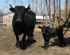 Heritage cows ~ Irish Dexters