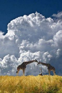 2752 by peter holme iii on / Giraffe Safari / stunning nature photography Nature Animals, Baby Animals, Cute Animals, Wildlife Photography, Animal Photography, Beautiful Creatures, Animals Beautiful, Beautiful Sky, Beautiful Family