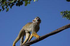 Squirrel Monkey @ Phoenix Zoo (Phoenix, AZ) » 2009/11/19